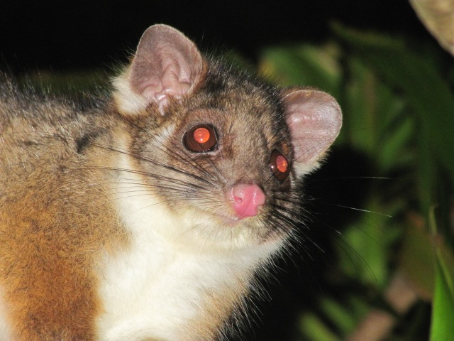 Bushy tail possum