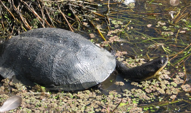 Long necked turtle in one of our damsdam